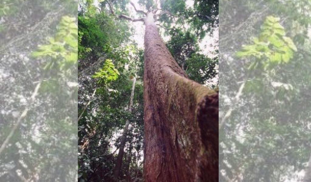 DZALEU.COM - African Lifestyle magazine - L'Essingang, arbre symbolique pour le peuple Ekang (Fang-Beti)